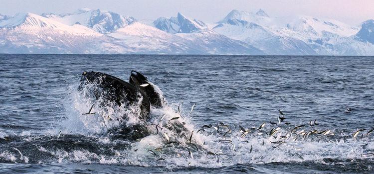 Whale Safari Andenes