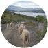 ovce kruh